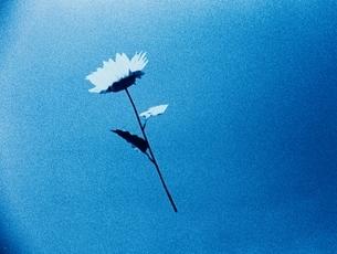 青空に浮かぶ白い花の写真素材 [FYI03837065]