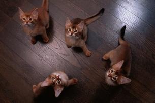 4匹のアビシニアンの子猫の写真素材 [FYI03837138]
