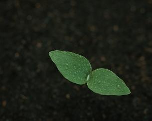 木の双葉の写真素材 [FYI03837424]