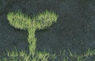 双葉型に生えた芝の写真素材 [FYI03837855]