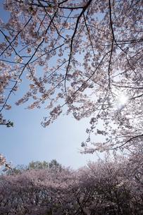 太陽と満開の桜の写真素材 [FYI03838197]