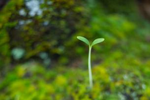 森の中の双葉の写真素材 [FYI03838398]