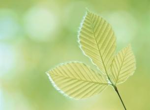 ブナの葉の写真素材 [FYI03838869]