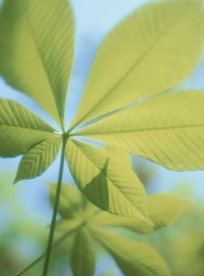 新緑の栃の葉のアップ 長野県の写真素材 [FYI03838895]