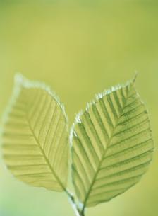 2枚の新緑のブナの葉 長野県の写真素材 [FYI03838897]