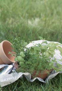 素焼鉢にハーブの寄せ植え ガーデニングイメージの写真素材 [FYI03839184]