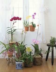 窓辺に置かれた洋らんの鉢とカーテンの写真素材 [FYI03839188]
