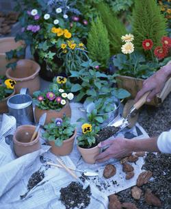 ガーデニングで花を植える人物の手の写真素材 [FYI03839189]