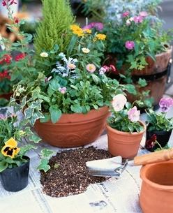 ガーデニングイメージ 素焼き鉢に春の花の寄せ植えの写真素材 [FYI03839195]