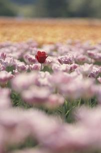 チューリップ畑 世羅町 広島県 4月の写真素材 [FYI03839318]