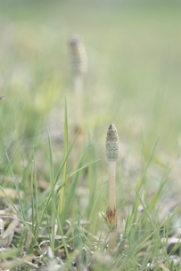 草と芽吹く2本のつくし 世羅町 広島県 4月の写真素材 [FYI03839320]