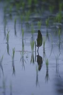 水田に刺さる稲と葉 筒賀村 広島県の写真素材 [FYI03839333]