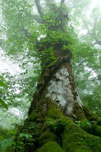 ブナの巨木の写真素材 [FYI03839413]