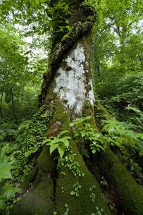 ブナの巨木の写真素材 [FYI03839455]