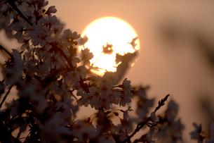 朝日とさくらの写真素材 [FYI03839569]