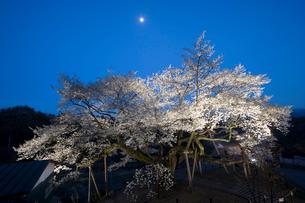 ライトアップされた三隅大平桜の写真素材 [FYI03839579]