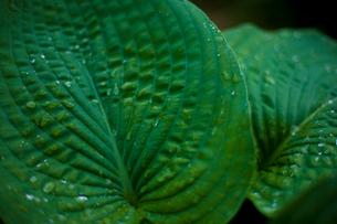 葉と水滴の写真素材 [FYI03839607]