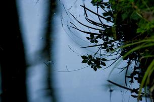 水面に映る葉のシルエットの写真素材 [FYI03839609]