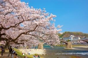 桜の錦帯橋の写真素材 [FYI03839703]