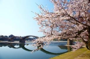 桜の錦帯橋の写真素材 [FYI03839704]
