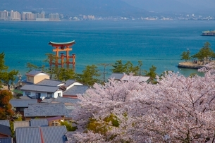 大鳥居と桜の写真素材 [FYI03839710]