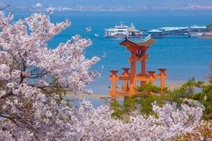 大鳥居と桜の写真素材 [FYI03839712]
