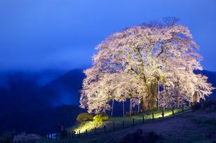 醍醐桜のライトアップの写真素材 [FYI03839783]
