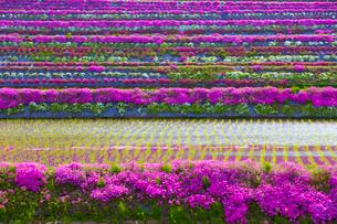 芝桜と水田の写真素材 [FYI03839788]