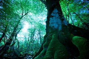 巨木の森の写真素材 [FYI03839964]