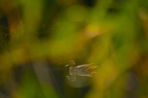 秋の湖と野鴨の写真素材 [FYI03839982]