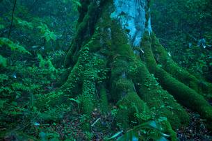 森の巨樹の写真素材 [FYI03840004]