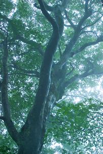 ブナの巨木の写真素材 [FYI03840005]