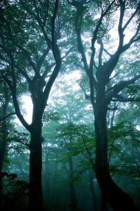 ブナの巨木の写真素材 [FYI03840006]