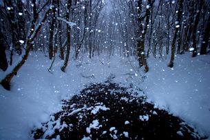 雪の森の写真素材 [FYI03840010]