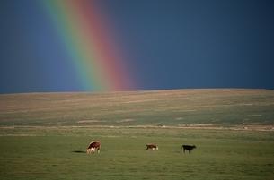 草原と虹と3頭のウシ モンゴルの写真素材 [FYI03840034]