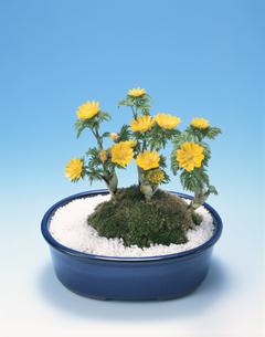 福寿草の鉢植えの写真素材 [FYI03840353]