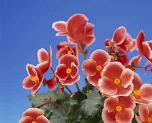 花(リーガース・ベゴニア)の周年開花の写真素材 [FYI03840408]
