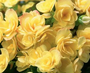黄色のリーガースベゴニアの写真素材 [FYI03840634]