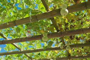 夏の木陰 風鈴とヒョウタンの実の写真素材 [FYI03840961]