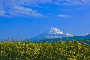 富士山と菜の花 アブラナ科の写真素材 [FYI03841031]