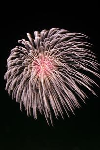 常総きぬ川花火大会 昇煌分星付うす紅芯銀冠菊の写真素材 [FYI03841100]