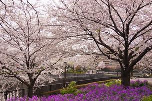 桜咲く音無えのき緑地の写真素材 [FYI03841312]