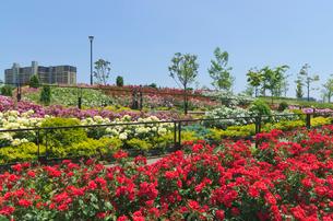 色々なバラ(バラ科)の咲く新田さくら公園の写真素材 [FYI03841482]