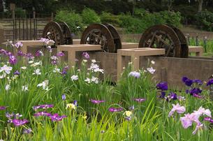 しょうぶ沼公園のハナショウブと三連水車の写真素材 [FYI03841505]