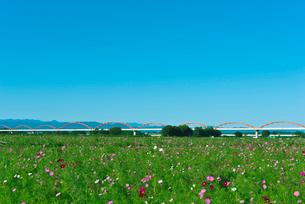 青空に1000万本のコスモス畑と日本一長い水管橋の写真素材 [FYI03841562]