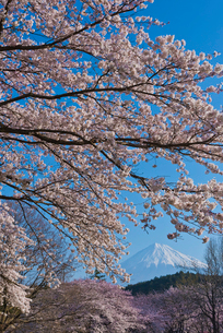 青空に世界文化遺産の富士山と岩本山公園の桜の写真素材 [FYI03841939]