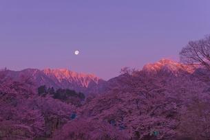 朝焼けの甲斐駒ケ岳と月と桜の写真素材 [FYI03842433]