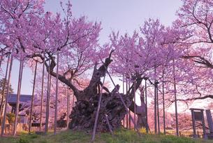 日蓮宗大津山実相寺で日本三大桜 山高神代桜エドヒガンザクラの写真素材 [FYI03842434]