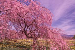 日蓮宗大津山実相寺の三春滝桜の子孫の写真素材 [FYI03842437]