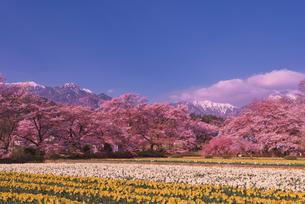 日蓮宗大津山実相寺で甲斐駒ケ岳と桜とラッパスイセンの写真素材 [FYI03842440]